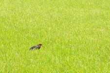 Free Bird In Rice Filed. Stock Photos - 15336593