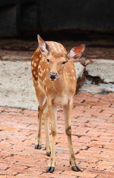 Free Sika Deer Royalty Free Stock Photo - 15338885
