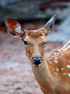 Close-up Of Deer Head Royalty Free Stock Image