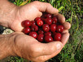 Free Cherries And Hand Royalty Free Stock Images - 15341909