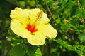 Free Yellow Hibiscus Blossom Royalty Free Stock Photos - 15343458