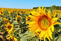 Free Sunflowers On A Field Royalty Free Stock Photo - 15345965