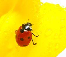 Free Ladybug Royalty Free Stock Images - 15340639