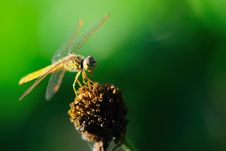 Free Dragonfly Stock Photo - 15340770