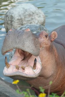 Free Hippopotamus Royalty Free Stock Photos - 15341938