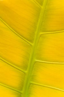 Free Big Yellow Leaf Structure Background Royalty Free Stock Image - 15342636