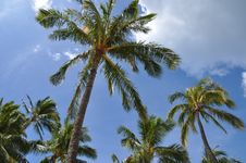 Free Coconut Palms Royalty Free Stock Image - 15343346