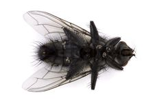 Free Dead Fly Over White Royalty Free Stock Photography - 15343417