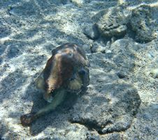 A Brown Octopus On The Eilat S Coral Reef Stock Photography