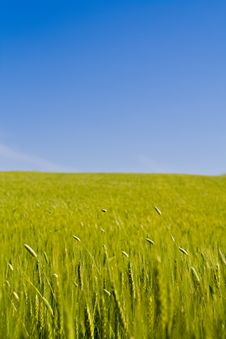Free Corn Field Royalty Free Stock Images - 15345589