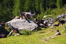 Free Goats Stock Image - 15345931