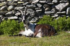 Free Goat Stock Images - 15345984