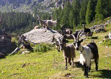 Free Goats Stock Image - 15345991
