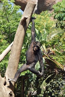 Free Chimpanzee Hanging From Tree Royalty Free Stock Image - 15347356