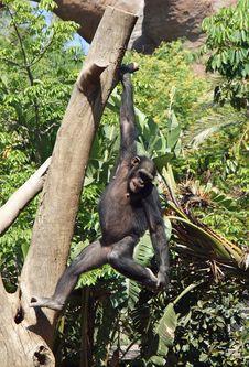 Chimpanzee Hanging From Tree Royalty Free Stock Image