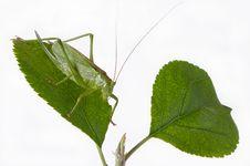 Free Locust Royalty Free Stock Image - 15347546