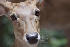 Free Deer Royalty Free Stock Photo - 15347995