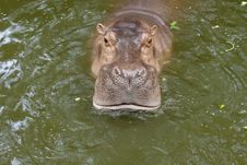 Free Hippo Stock Photography - 15348142