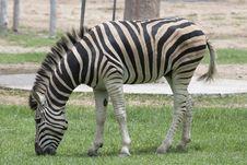Free Zebra Royalty Free Stock Photography - 15348227