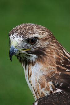 Free Red Tailed Hawk Stock Photo - 15349380
