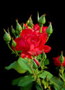 Free Red Rose Stock Photography - 15350742