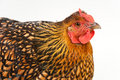 Free Orange And Black Hen Portrait Stock Photos - 15350963