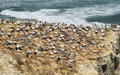 Free Gannet Colony Stock Photography - 15351842