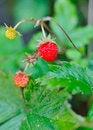 Free Beautiful Wild Wood Strawberries Bush Royalty Free Stock Images - 15354269