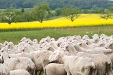 Free Sheep And Canola Stock Images - 15350424