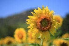 Free Sunflower Royalty Free Stock Image - 15350556