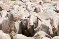 Free Sheep Stock Photos - 15350563