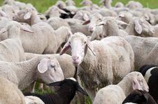 Free Sheep Stock Photography - 15350752