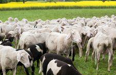 Free Sheep And Canola Royalty Free Stock Image - 15350786