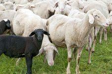 Free Sheep Royalty Free Stock Photos - 15350838