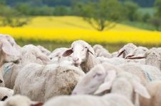 Free Sheep And Oilseed Rape Royalty Free Stock Images - 15350869