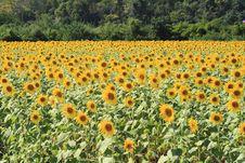 Free Sunflower Royalty Free Stock Photo - 15351185