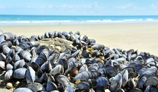 Free Mussels On A Coast - Eatable Seafood Stock Images - 15351514