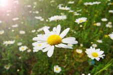 Free Field Of Daisies Stock Photo - 15352140
