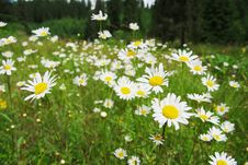 Free Field Of Daisies Royalty Free Stock Image - 15352166