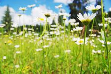 Free Field Of Daisies Stock Photography - 15352202