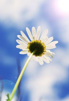 Beautiful Daisy Royalty Free Stock Image