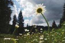 Free Field Of Daisies Stock Photography - 15352232