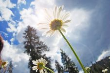 Free Field Of Daisies Stock Images - 15352274