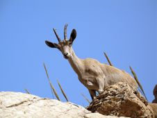Free Mountain Goat Royalty Free Stock Photo - 15352725