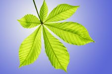 Free The Chestnut Leaf Against The Sky Royalty Free Stock Image - 15352766
