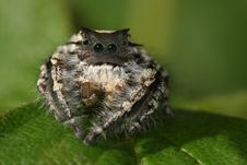 Free Jumping Spider Royalty Free Stock Image - 15352916