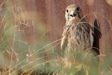 Free Common Falcon Stock Image - 15353061