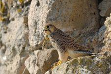 Free Common Falcon Stock Photos - 15353063