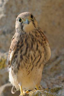 Free Common Falcon Royalty Free Stock Photos - 15353078