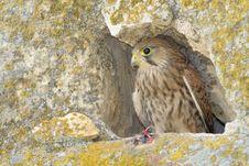Free Common Falcon Stock Photo - 15353100